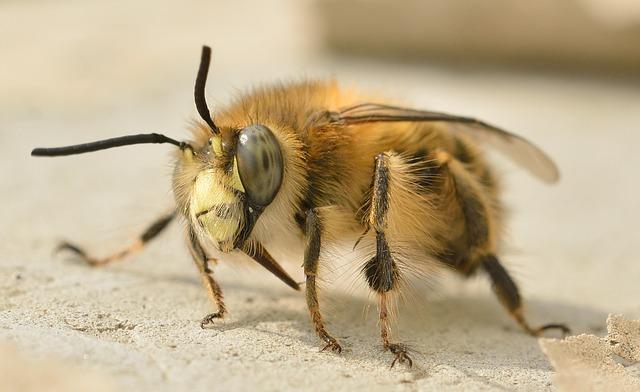 photo of a a honeybee
